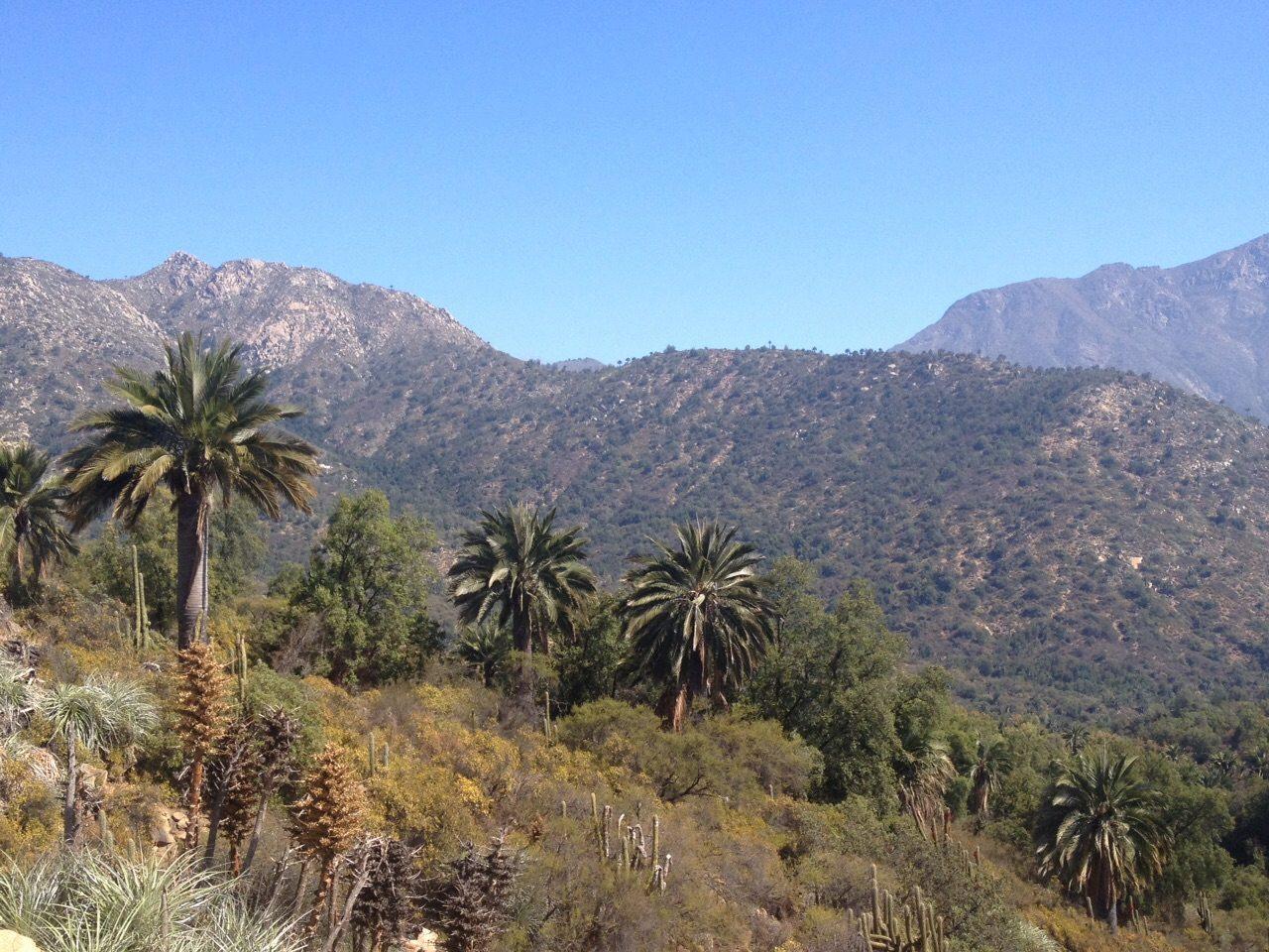 Un bosque de palmas en la cordillera de la costa
