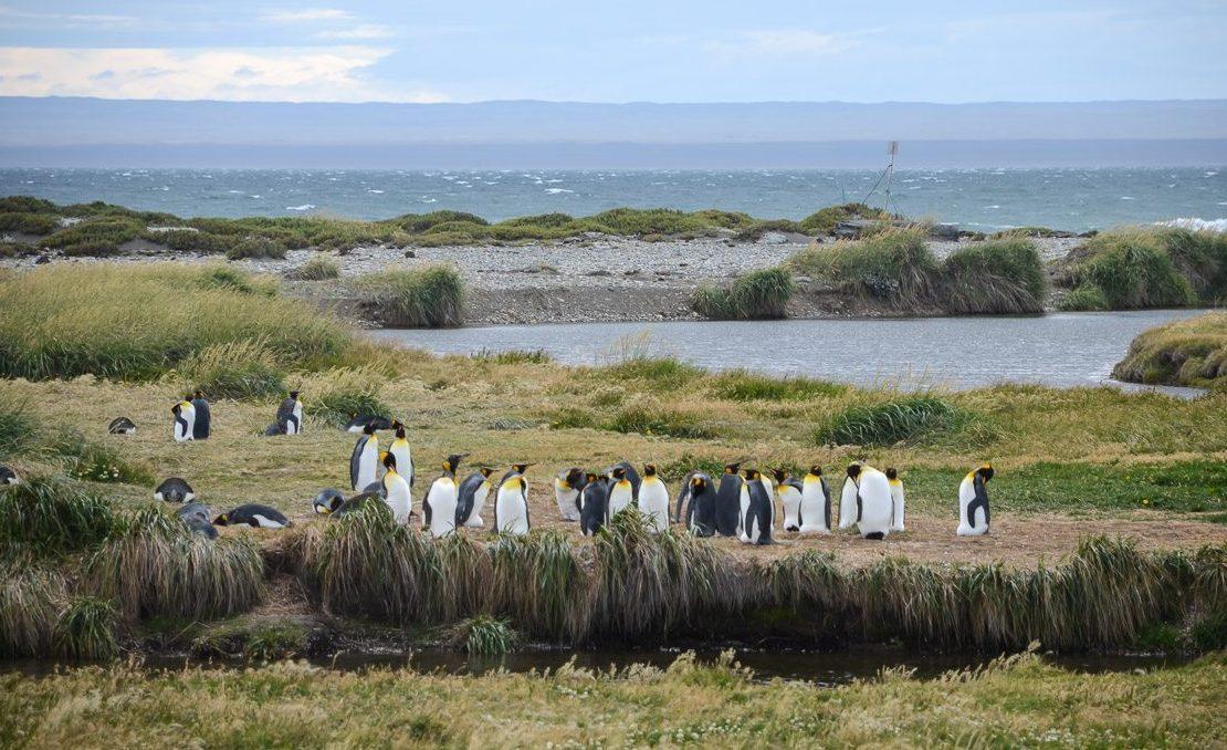 King Penguins Tierra del Fuego